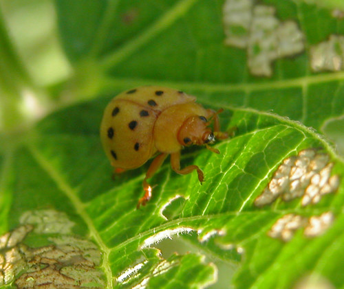 Photo Hunt List #14: Insect--Mexican Bean Beetle | by Old Shoe Woman
