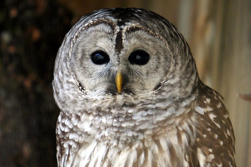 Chouette rayée / Barred Owl | by meantux