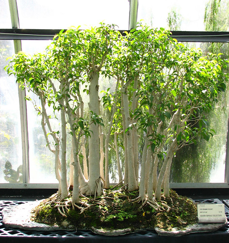 bonsai ficus grove krohn conservatory 10 apr 2006. Black Bedroom Furniture Sets. Home Design Ideas
