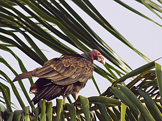 Turkey Vulture | by webmink
