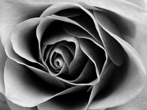 Rose In Black And White Auntie P Flickr