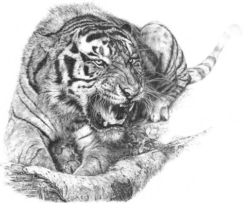 malayan tiger drawing - photo #16