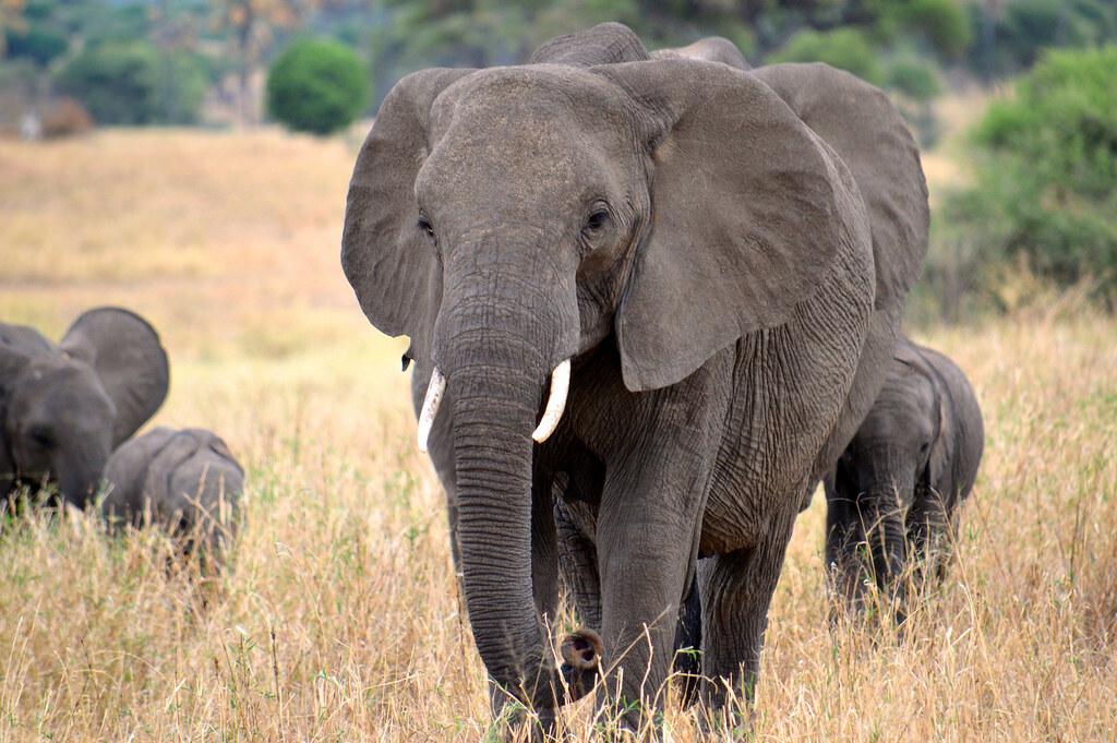 非洲象。圖片來源:Megan Coughlin(CC BY-ND 2.0)。