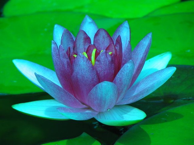 Blue Lotus Ty Siscoe Flickr