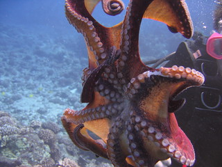 Octopus fanned-out | by ccaviness