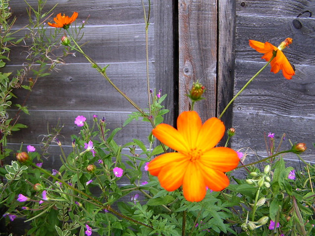 wild orange flowers in my back garden bar  london