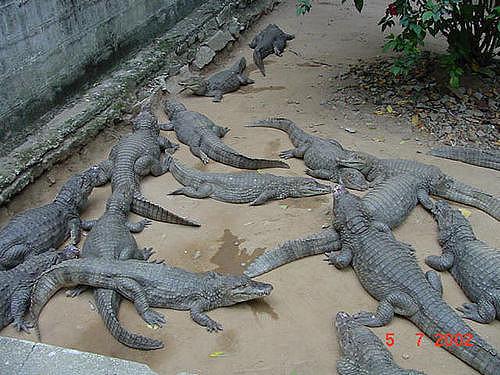 Indian Crocodiles Also Known As Mugger Crocodiles