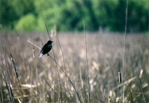 Red-Winged Blackbird | by Dawn Endico