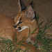 Kenya the Caracal Kitten