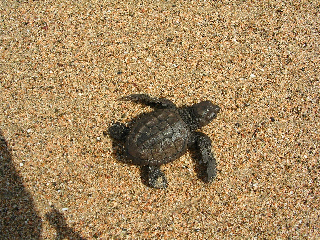Baby green sea turtle | We were taking data on some plants ... - photo#32