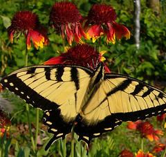Eastern Tiger Swallowtail | by lucycat