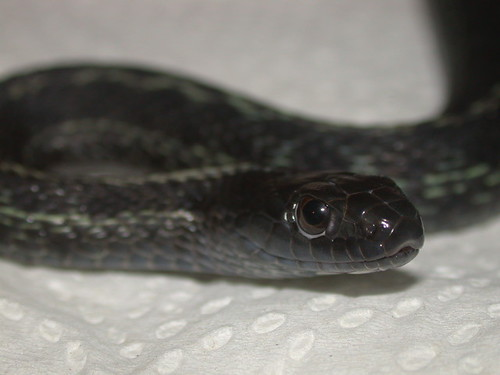 Dark-phase wandering garter