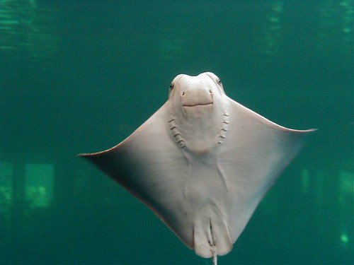 the smiling stingray | by neb
