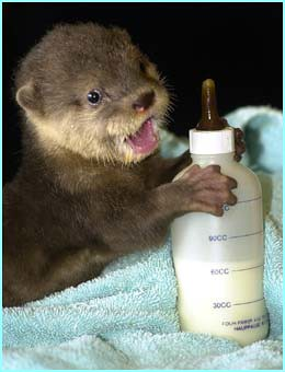 baby otter | by merlinmann