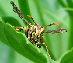 Wasp | by Terry_Lea