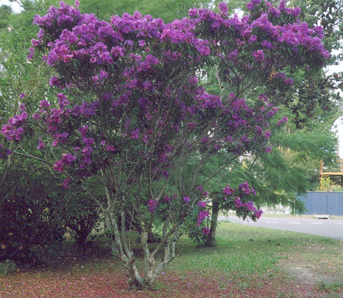 Purple flowering tree | These trees think it's spring ...