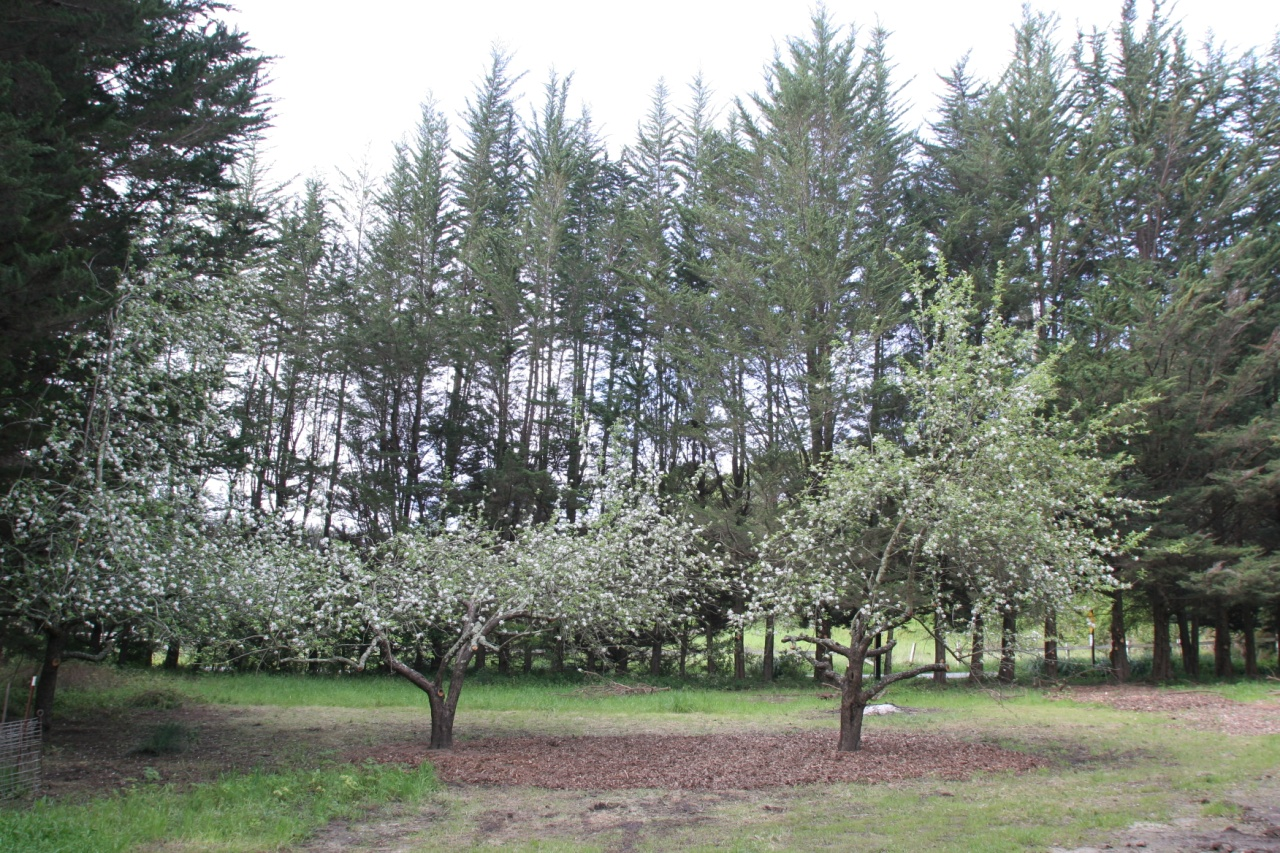 The three apple trees