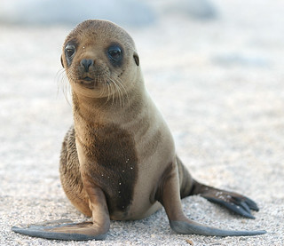 Sea Lion Pup | by dagpeak