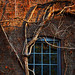 blue window and ivy