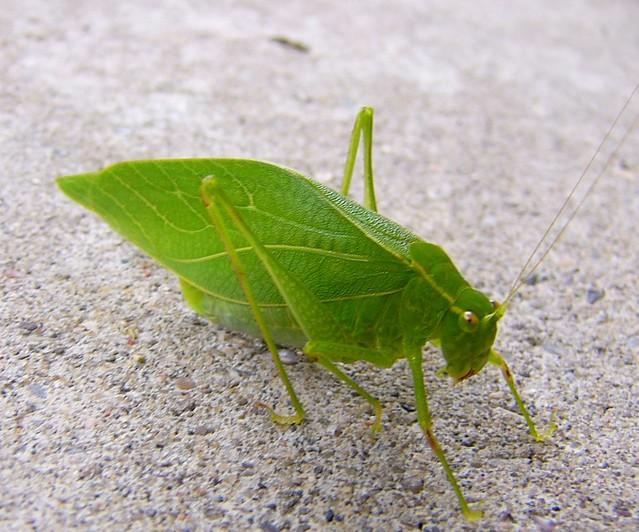 Grasshopper looks like a leaf 10