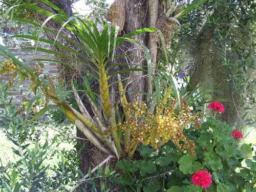 Cyrtopodium palmifrons | El mismo se encuentra muyy comodo ...