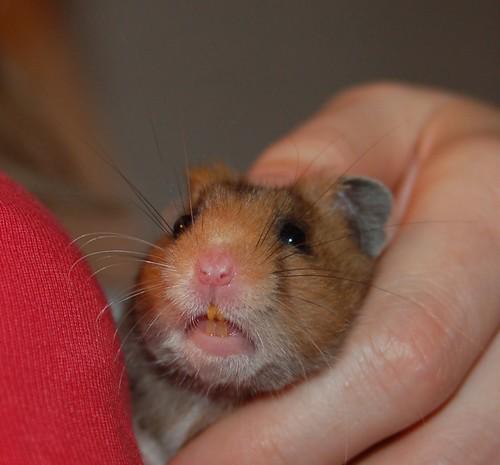 Syrian Hamster Teeth | www.imgkid.com - The Image Kid Has It!