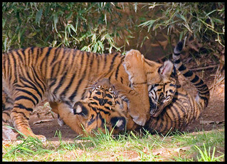 Tiger Cub Wrestling Match | by [Christine]