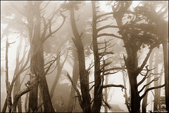 Cypress Trees in Sepia | by Jerry Ting