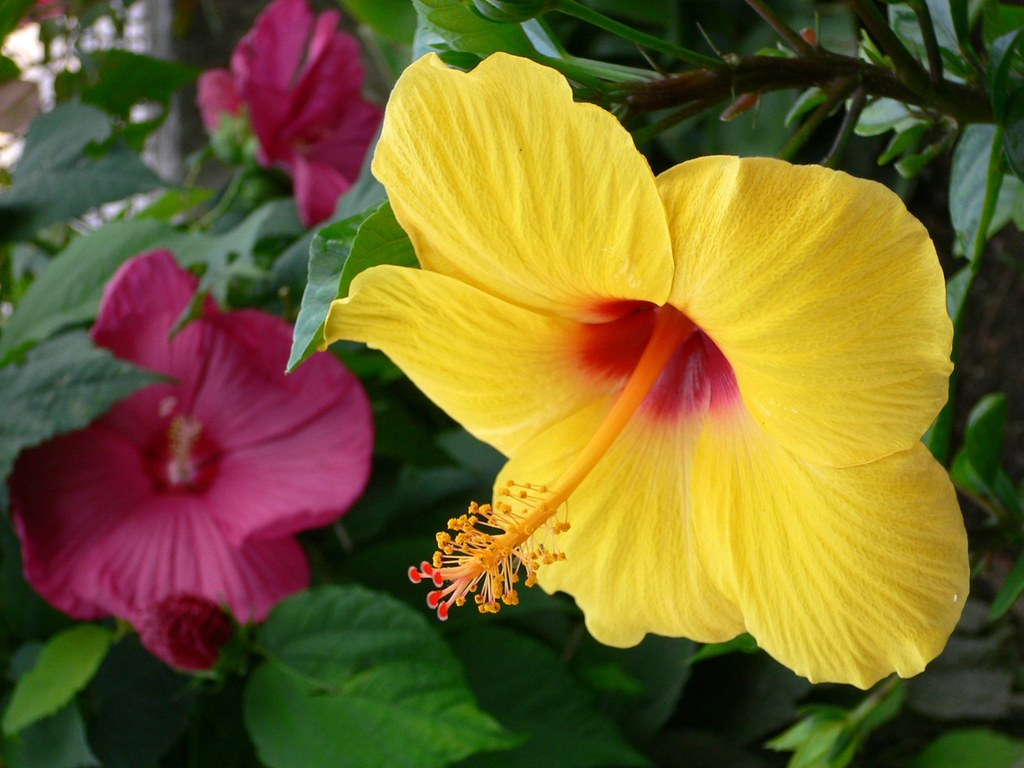 "Yellow ""Hibiscus rosa sinensis"" and red ""Hibiscus moscheut…"