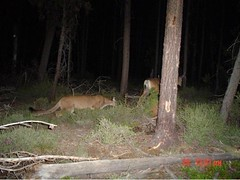 Cougar/ Mountain Lion following a deer trail cam pic Oregon | by Marty Stoufer