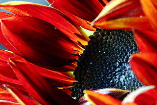 Flaming Sunflower | by stephcarter