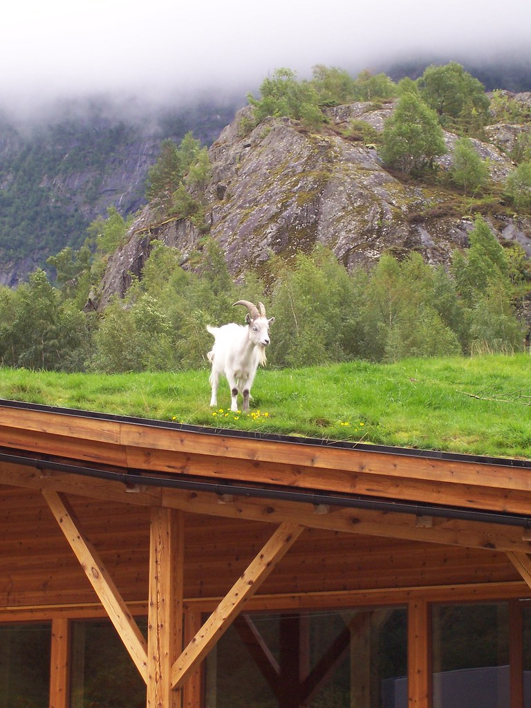 Goat On The Roof Day Seven Was Spent In The Eidfjord
