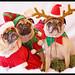 Yoda, Wookie and Mojo - Pug Christmas Portrait