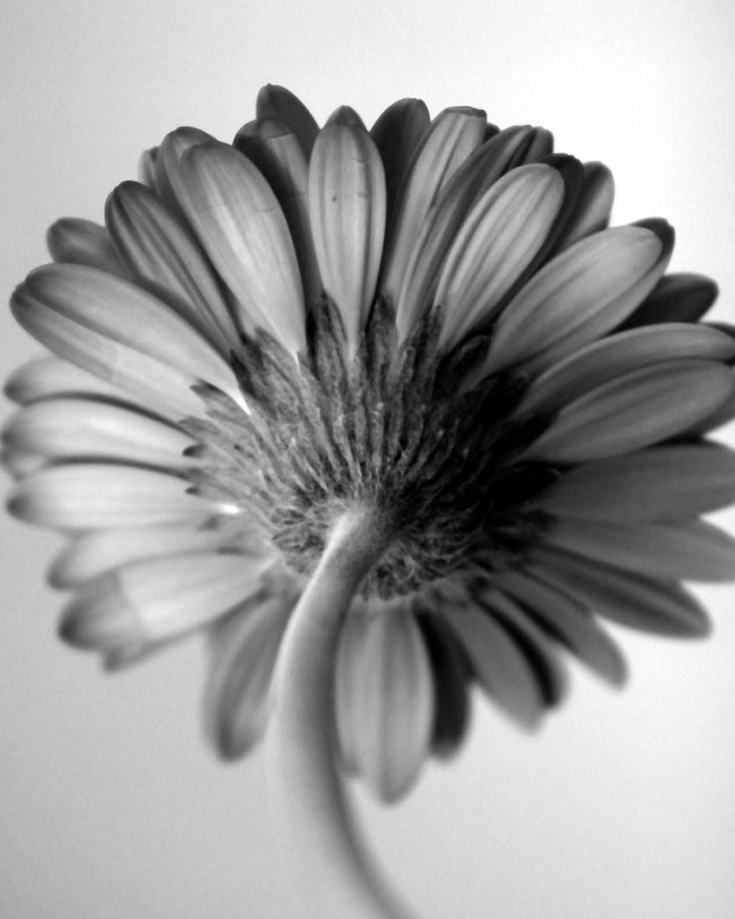 Black White Flower Black White Gerbera Highest P Flickr