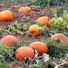 September Pumpkins