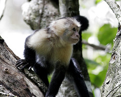 Capuchin Monkey | by fyimo