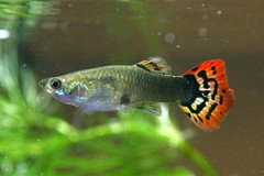 Guppy 10-28-2006 9-14-30 PM | by judhi
