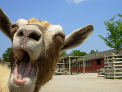 The Laughing Goat | by joey_foto