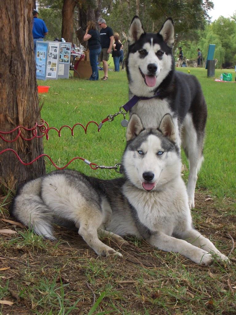 Image Result For Siberian Husky Club