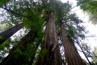 Redwoods straight up | by Mel B.