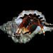 Calcinus tibicen, a hermit crab from the Caribbean coast of Panama