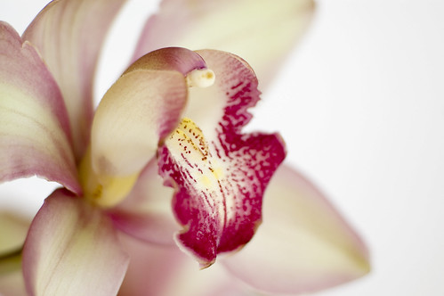 *orchid* | by julies517