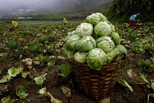 harvesting cabbages, atok | by bj patiño