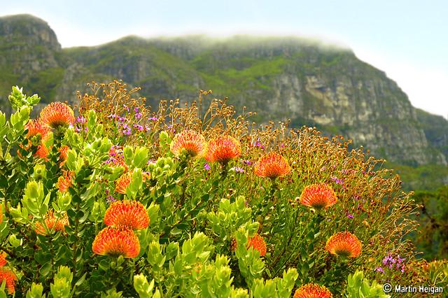 pincushion protea  leucospermum  flowers