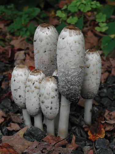 Shaggy Mane Mushrooms | by photofarmer