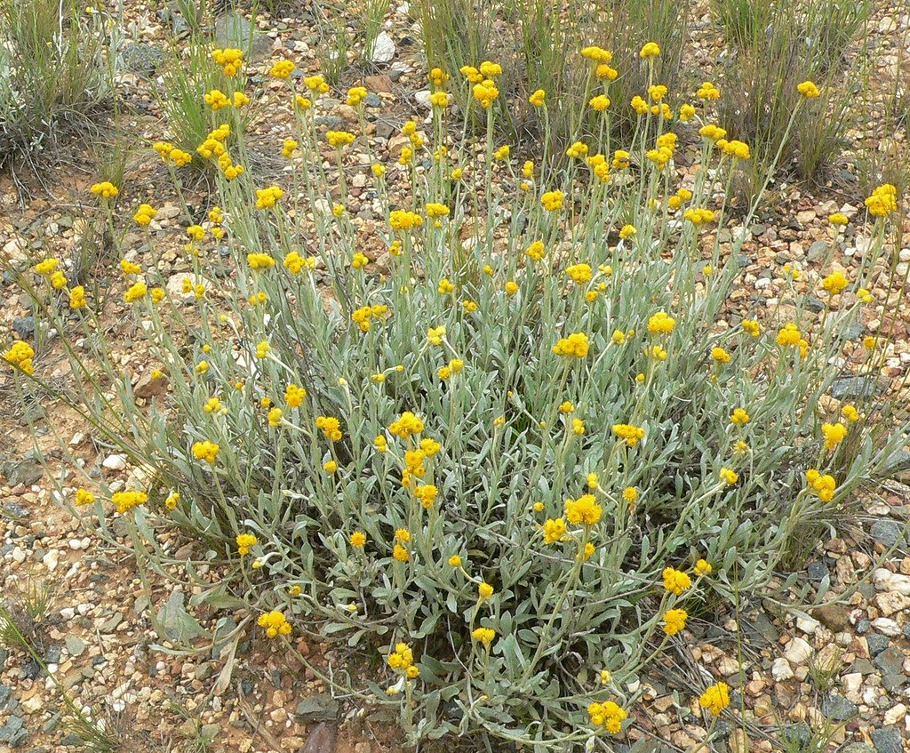 Chrysocephalum Apiculatum Silver Form Yellow Buttons