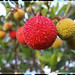 Arbutus Berry / Arbousier
