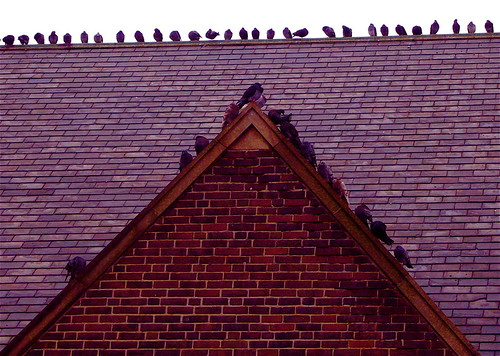 Rooftop Pigeons | by Musical Mint