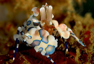 Harlequin Shrimp | by JennyHuang