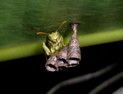 Paper wasp guarding nest, Panama | by Arthur Anker